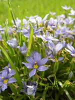 Blue Patch of Flowers by siannajmj