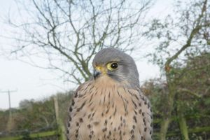 Common kestrels photography by MagpieRaptor