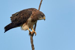 Swainson's Hawk - Anticipation by JestePhotography