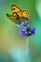 Butterfly Close-up V by dalantech