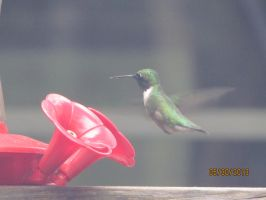 Female Hummingbird by MegBeth