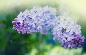 Blooming lilacs by Ur6o