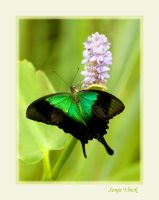 Green swallowtail by Lentekriebel