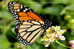 Monarch Butterfly by mentaldragon