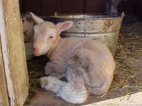 Lamb beside a bucket by eccentricone