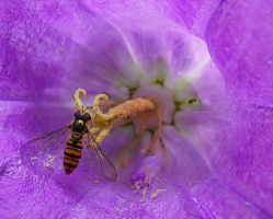 hoverfly relaxing inside a bellfower by Paul774