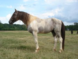 STOCK - Dark Red Roan Tobiano by reasontobecrazy