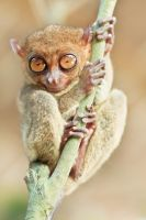Phillipine tarsier III by MotHaiBaPhoto