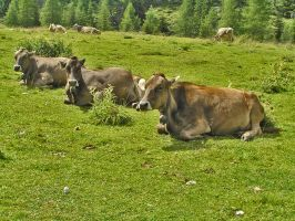 Ruminating cows by edelweiss26