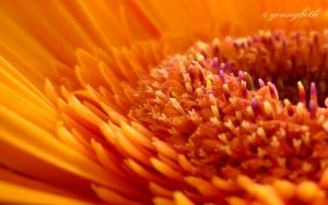 Gerbera core by youngbeth