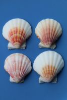 Sea shell Stock 052 by Malleni-Stock