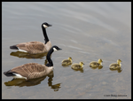 Family Day - Geese by Mogrianne