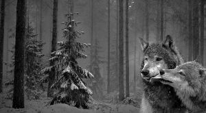 Canis Lupus Background by DyzlyDead