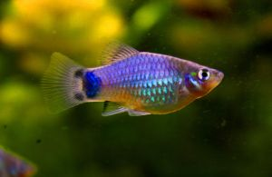 .Blue Mickey Mouse Platy. by Fishybobo