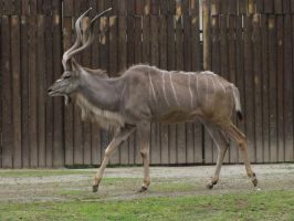 Greater Kudu 07 by animalphotos