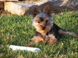 Yorkie by photowizard