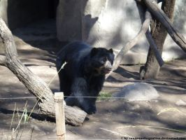Spectacled bear by Cansounofargentina