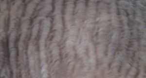 Fur Texture 2-Seal Point by ErrantDreams