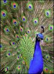 Peacock: the Cliche by woxys