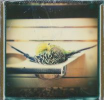 The Budgerigar Cup by JillAuville