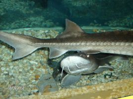 Real live Sturgeon III by Gastric