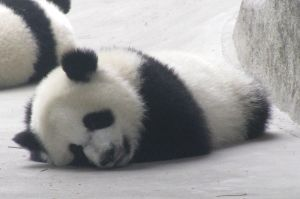 Sleepy Panda by Artsee1