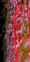Red vine leaves by Quit007
