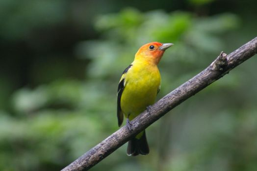 Western Tanager by Animedemon001