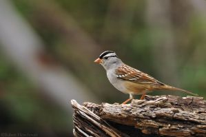 White-crowned Sparrow by robbobert