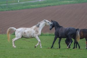 White Horse Attacking by LuDa-Stock