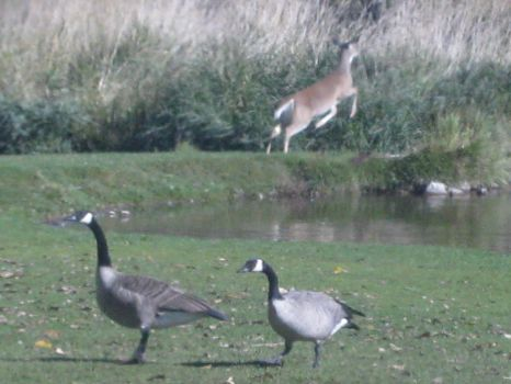 Leaping deer and geese by AHumrich92