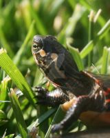 Painted Turtle 3 by Xercesa