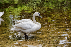 Swan sideways in the lake by photogooroo