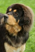Tibetan Mastiff curious eyes by SaNNaS