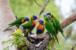Rainbow Lorikeets by ribbonworm