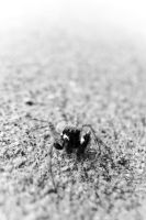 Jumping Spider by Youcef07