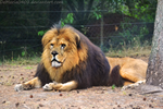 Lion Stock 3 by DeMaria0402
