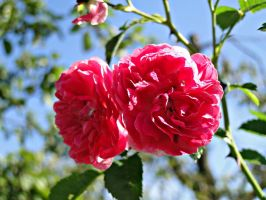 Rose by amymone