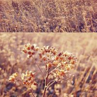 Yarrow by rosaarvensis