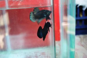 Betta Fish for export 07 by jerungan
