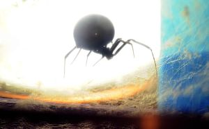 Lucinda the Latrodectus Black Widow by Meddling-With-Nature