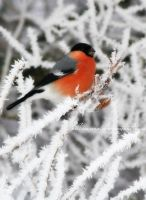 Bullfinch by Alhor-Ern