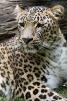 1251 - Persian Leopard by Jay-Co