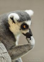 Lemur the thinker by tipoe