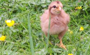 Chick in the Buttercups by mashashy