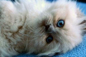 Himalayan kitten by Fohat