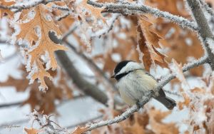Chickadee frost by DGAnder