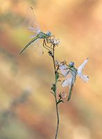 Sympetrum fonscolomii,brotherhood grass. by RGSeby