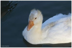 young goose by Claudia008