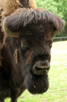 Wisent bull portrait by steppelandstock